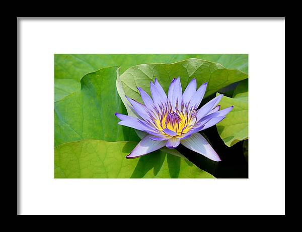 Flowers; Flora; Waterlily; Violet Flower; Violet; Aquatic; Garden; Oriental; Asia; Australia; Sydney; Botanic; Floating; Close Up; Framed Print featuring the photograph Violet Waterlily by Mihaela Limberea