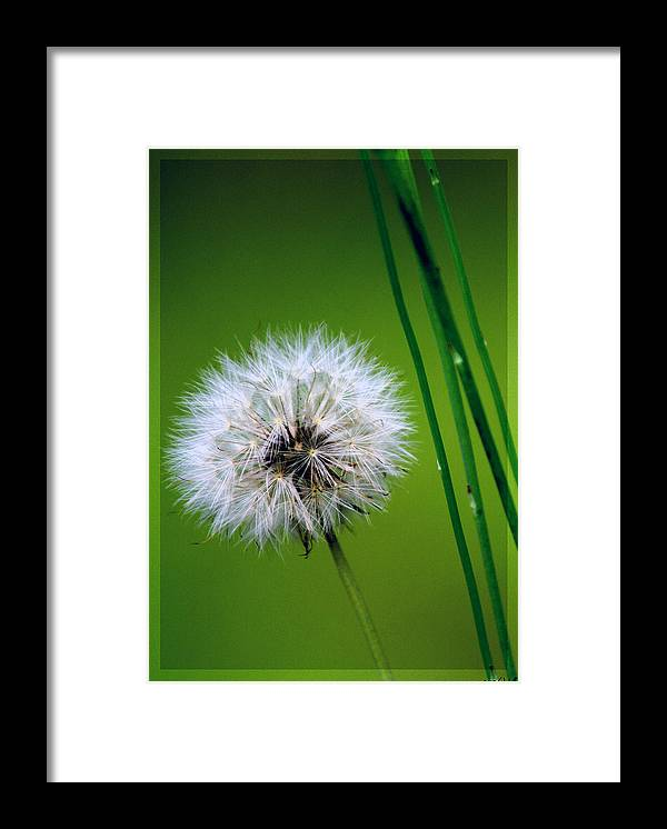 Dandelion Framed Print featuring the photograph Waiting for the Winds of Deliverance by Holly Kempe