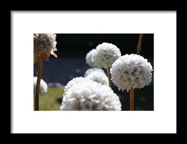 Aliums Framed Print featuring the photograph White Aliums by Vicki Cridland
