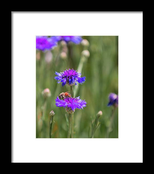 Bee Framed Print featuring the photograph Wildflower visitor 2 by John Heywood