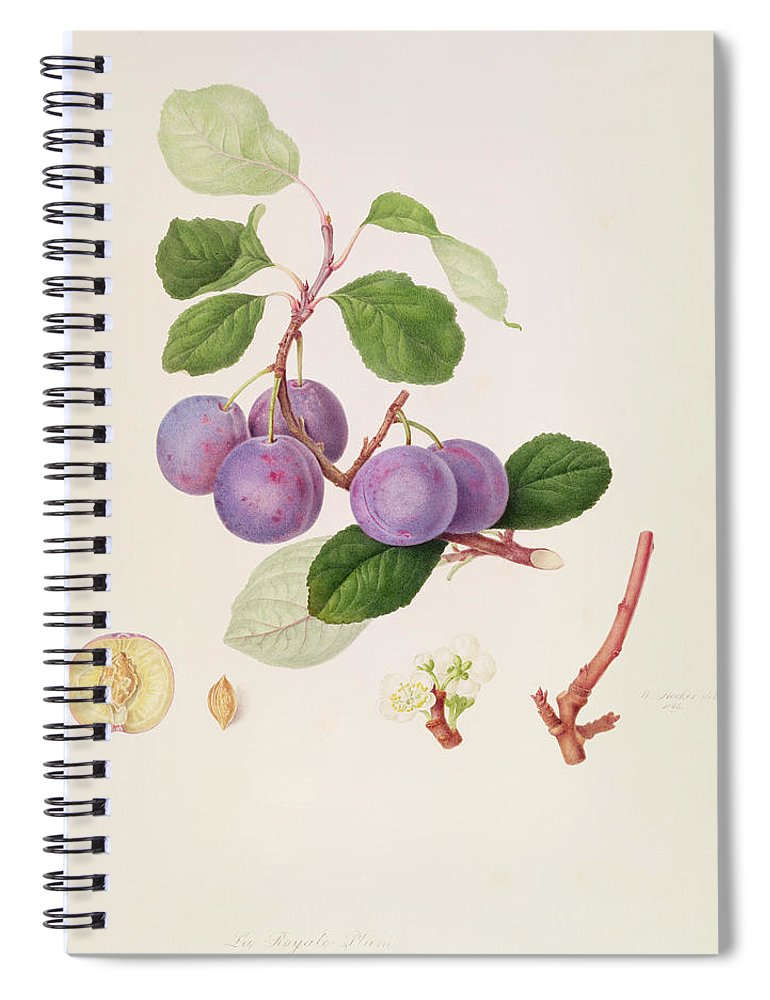 Fruit; Plums; Blossom; Branch; Leaves; Cross-section; Botanical Illustration Spiral Notebook featuring the painting La Royale Plum by William Hooker