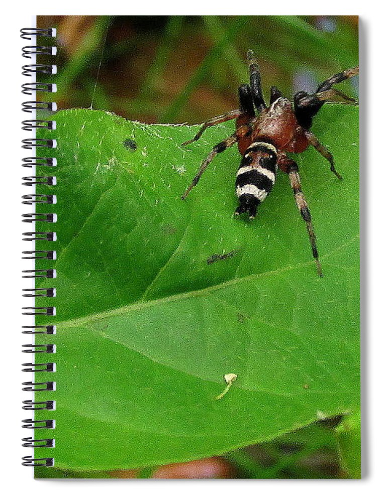 Bee Mimic Ground Spider Little Striped Spider Black And Yellow Striped Spider Rare Spiders Of North America Insects Arachnid Species Of North America Spiders Of The Northeast Rare Creatures Of The Woodland Wild Prints Rare Prints Natural Biodiversity Spider Prints Spiderscapes Sergiolus Capulatus Spiral Notebook featuring the photograph Sergiolus Capulatus by Joshua Bales