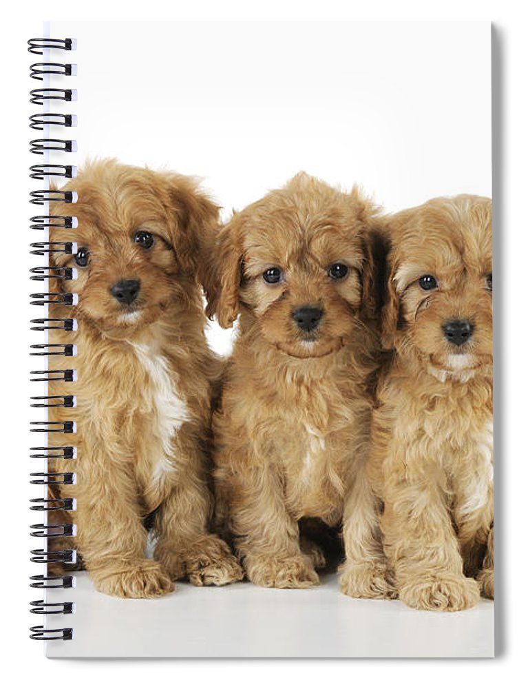 Dog Spiral Notebook featuring the photograph Cockapoo Puppy Dogs by John Daniels