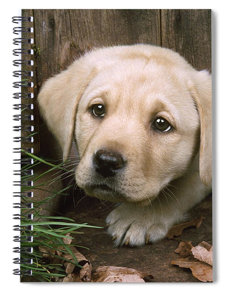 Labrador Spiral Notebook featuring the photograph Labrador Puppy by John Daniels