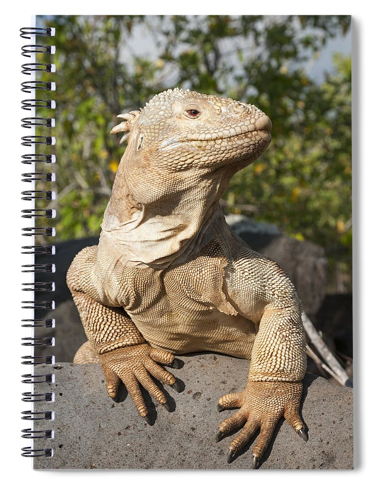 534165 Spiral Notebook featuring the photograph Santa Fe Land Iguana Galapagos by Tui De Roy