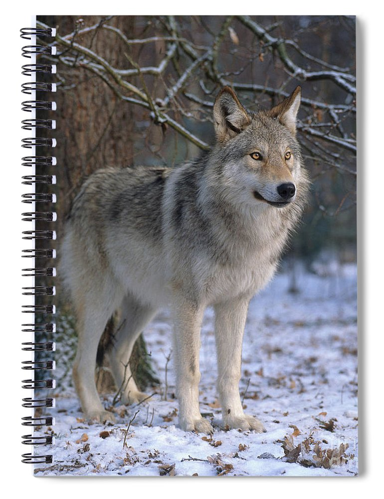 Gray Wolf Spiral Notebook featuring the photograph Timber Wolf by Hans Reinhard
