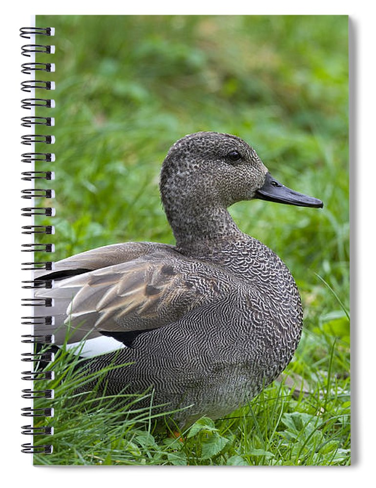 Anas Strepera Spiral Notebook featuring the photograph 120520p321 by Arterra Picture Library