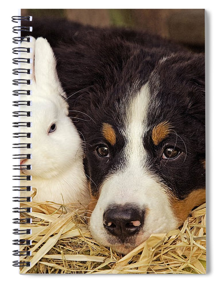 Bernese Mountain Dog Spiral Notebook featuring the photograph Bernese Mountain Puppy And Rabbit 2 by Jean-Michel Labat