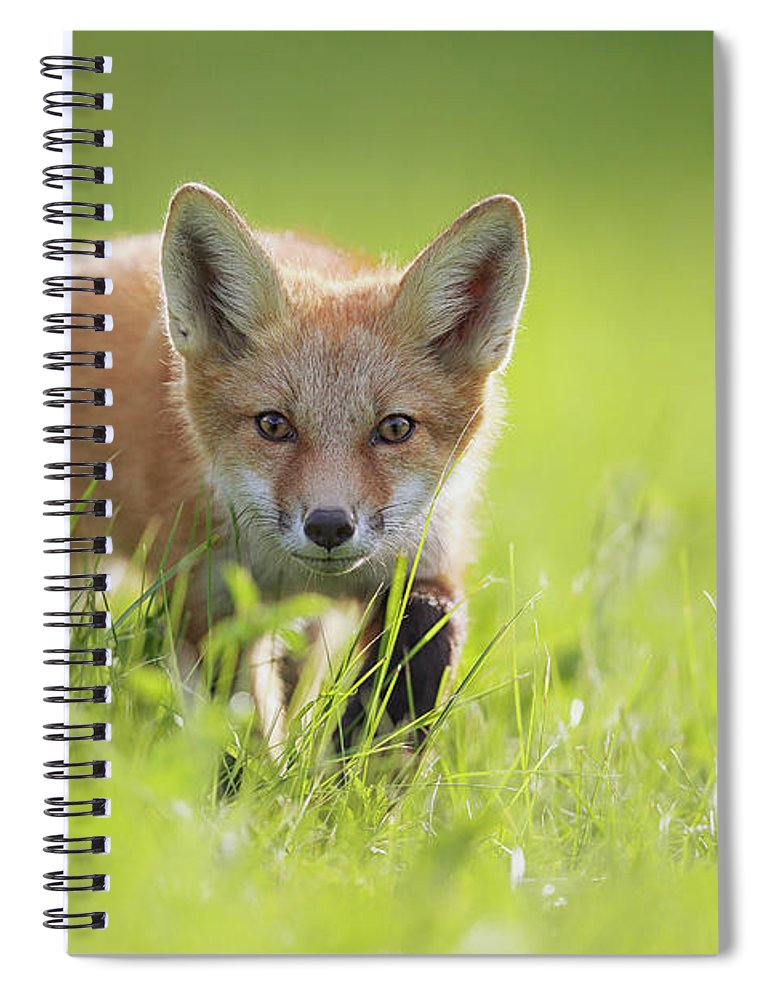 Sly As A Fox Spiral Notebook featuring the photograph A Fox In The Grass Montreal, Quebec by Vladislav Kamenski