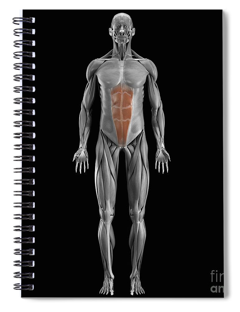 Full View Spiral Notebook featuring the photograph Abdominal Muscles by Science Picture Co