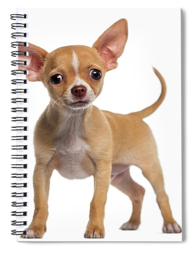 Pets Spiral Notebook featuring the photograph Alert Chihuahua Puppy 3 Months Old by Life On White
