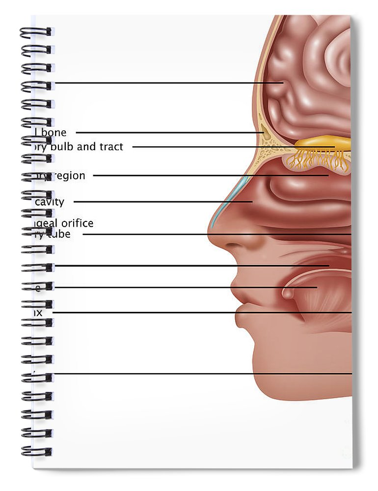 Perfect Anatomy Of Smell Gallery Anatomy And Physiology Biology