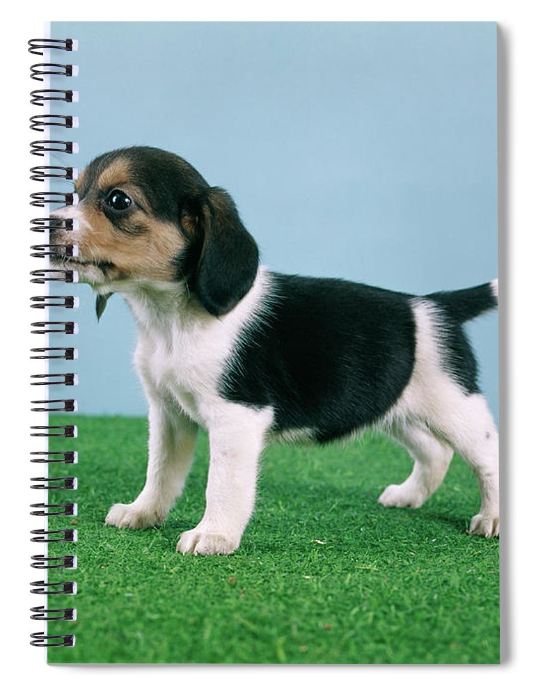 Photography Spiral Notebook featuring the photograph Beagle Puppy Standing On Artificial by Animal Images