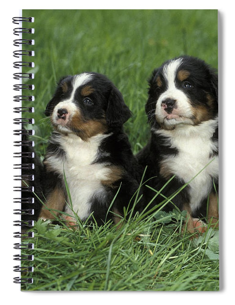 Dogs Spiral Notebook featuring the photograph Bernese Mountain Puppies by Rolf Kopfle