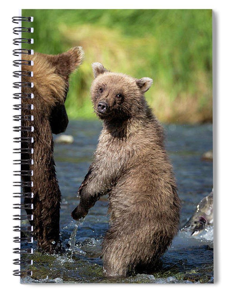 Katmai Peninsula Spiral Notebook featuring the photograph Coastal Brown Bear Family by Justinreznick