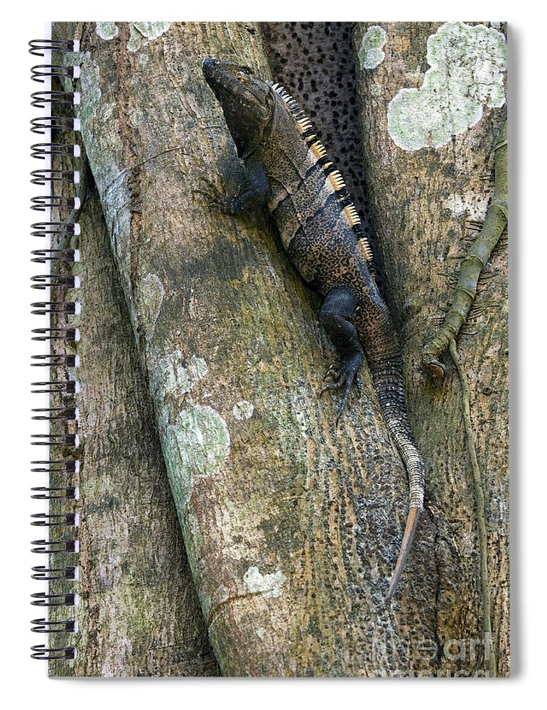 Black Spiny-tailed Iguana Spiral Notebook featuring the photograph Ctenosaur 3 by Arterra Picture Library