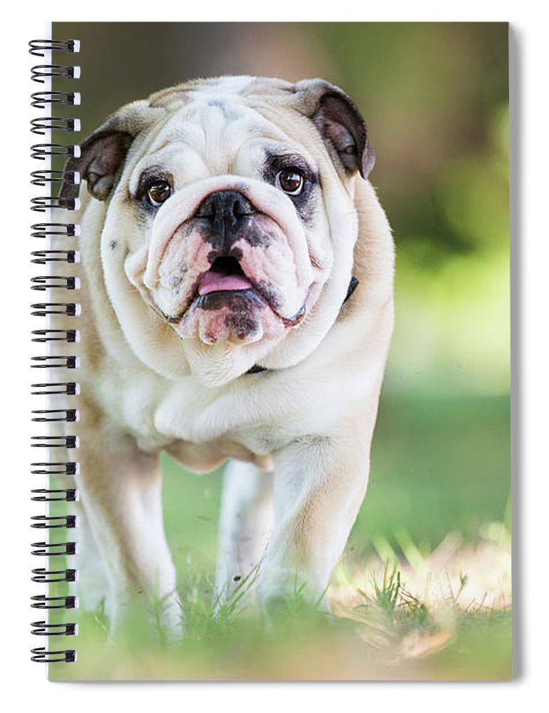 Pets Spiral Notebook featuring the photograph English Bulldog Puppy Walking Outdoors by Purple Collar Pet Photography