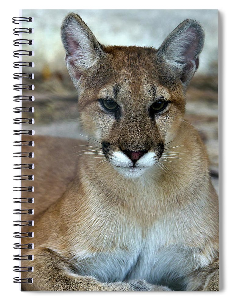 Animal Themes Spiral Notebook featuring the photograph Florida Panther, Endangered by Mark Newman