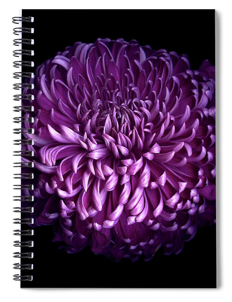 Chrysanthemum Spiral Notebook featuring the photograph Glorious Autumn Purple Chrysanthemum by Photograph By Magda Indigo