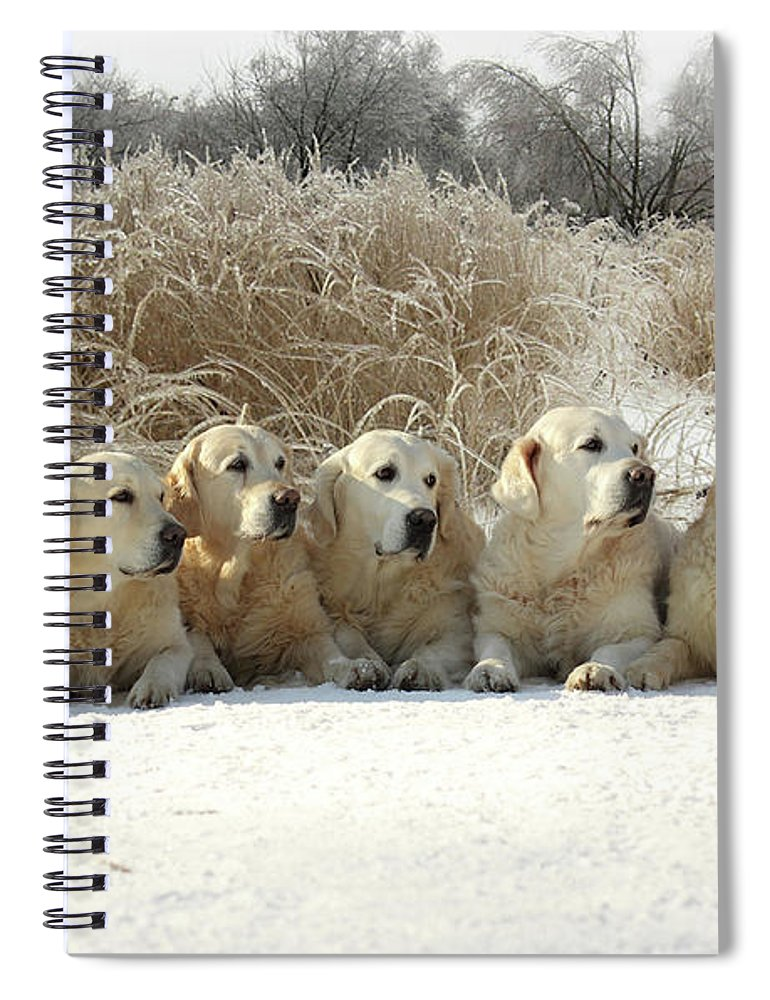 Pets Spiral Notebook featuring the photograph Golden Retrievers by Sergey Ryumin