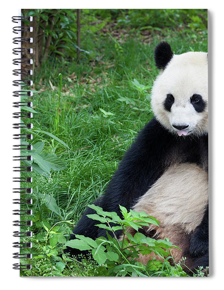 Chinese Culture Spiral Notebook featuring the photograph Great Panda Showing Its Tongue - by Fototrav