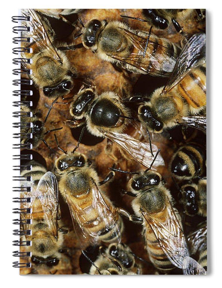Honeybee Spiral Notebook featuring the photograph Honeybees With Queen by Scott Camazine