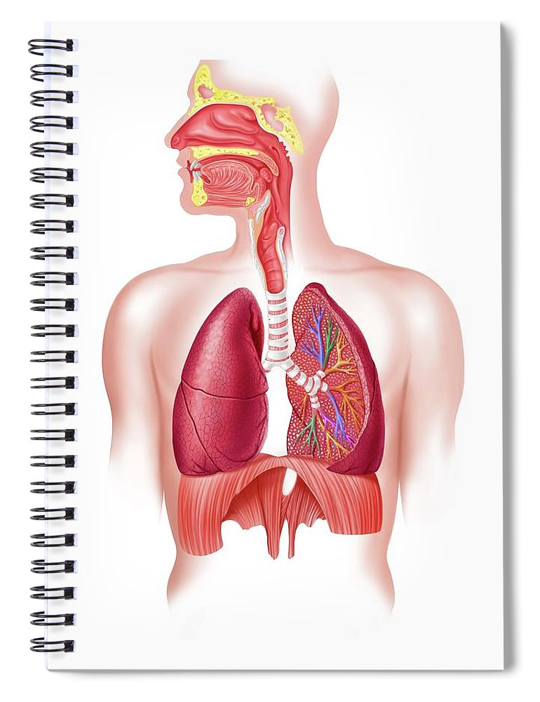 Human Lung Spiral Notebook featuring the digital art Human Respiratory System, Artwork by Science Photo Library - Leonello Calvetti