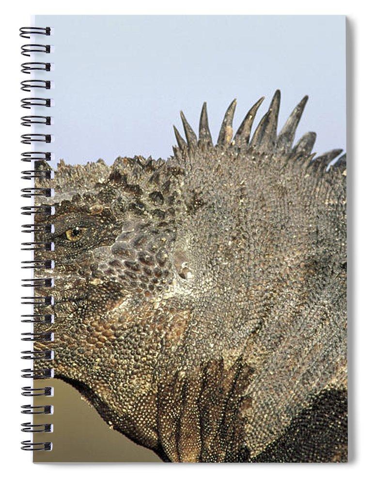 Feb0514 Spiral Notebook featuring the photograph Marine Iguana Male Santa Cruz Island by Tui De Roy