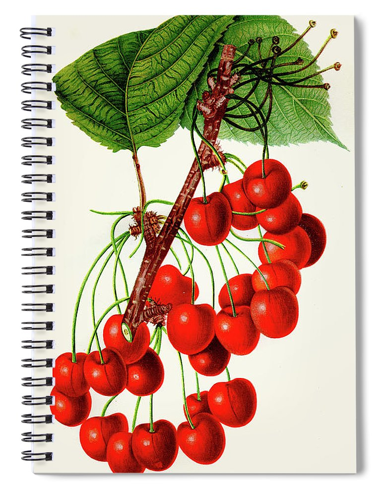 Engraving Spiral Notebook featuring the digital art Mercer Cherry Illustration 1892 by Thepalmer