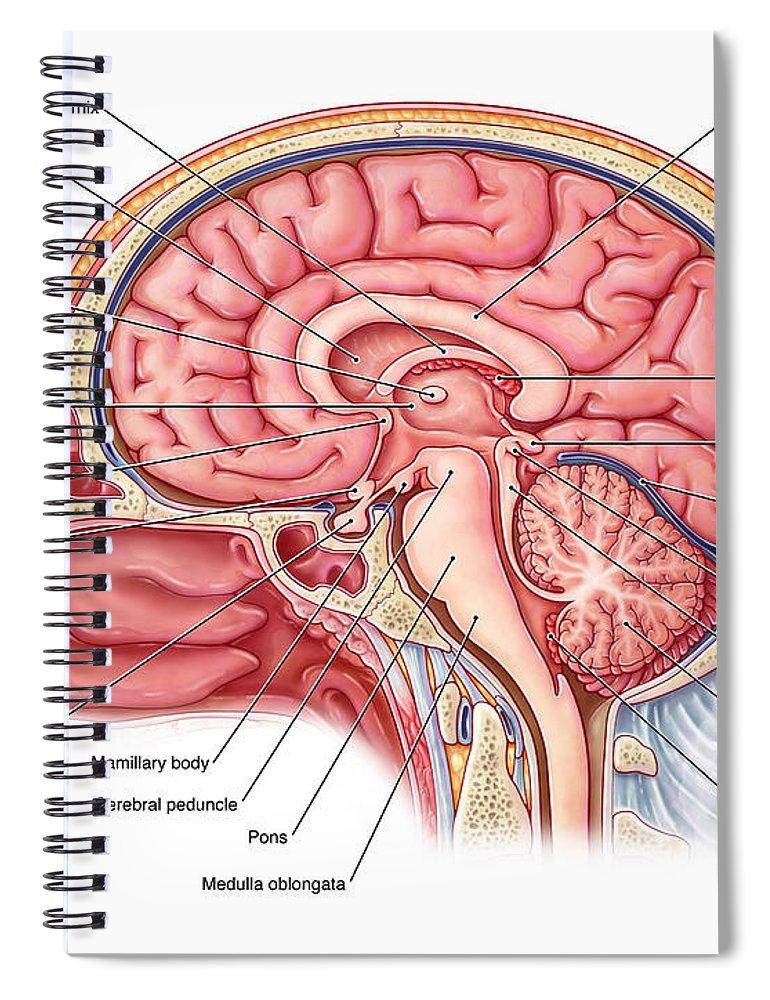 Midsagittal Brain, Illustration Spiral Notebook for Sale by Evan Oto