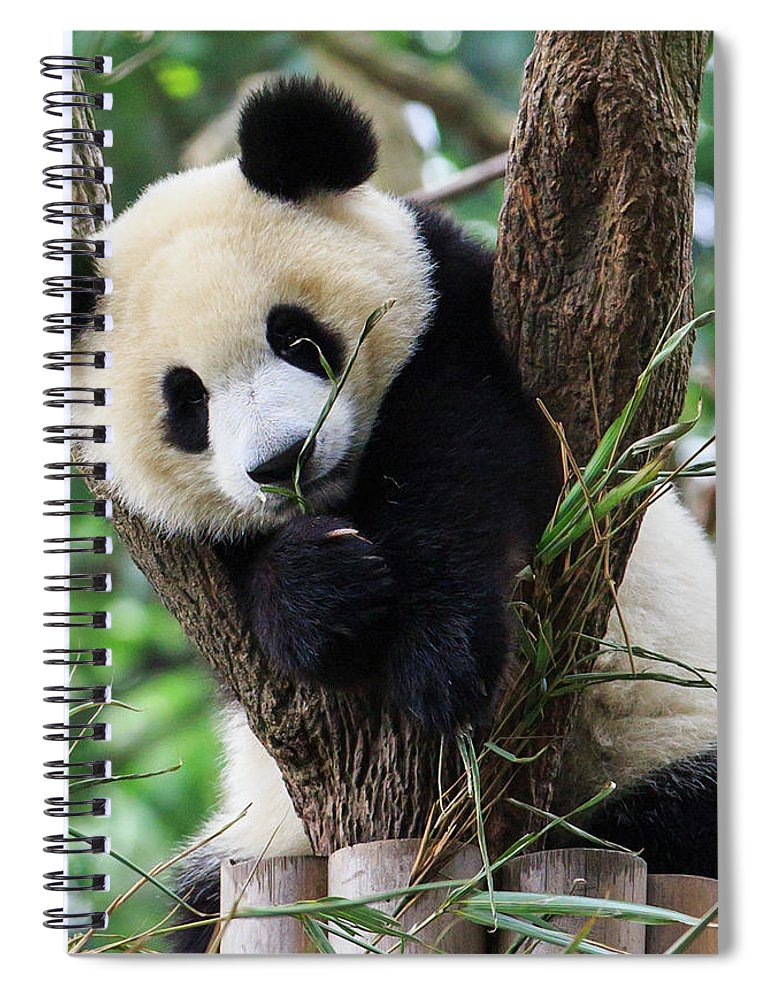 Panda Spiral Notebook featuring the photograph Panda Cub Resting On Tree by Feng Wei Photography