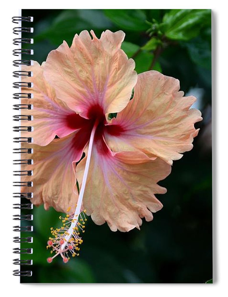 Peach And Deep Purple Hibiscus Flower Spiral Notebook For Sale By