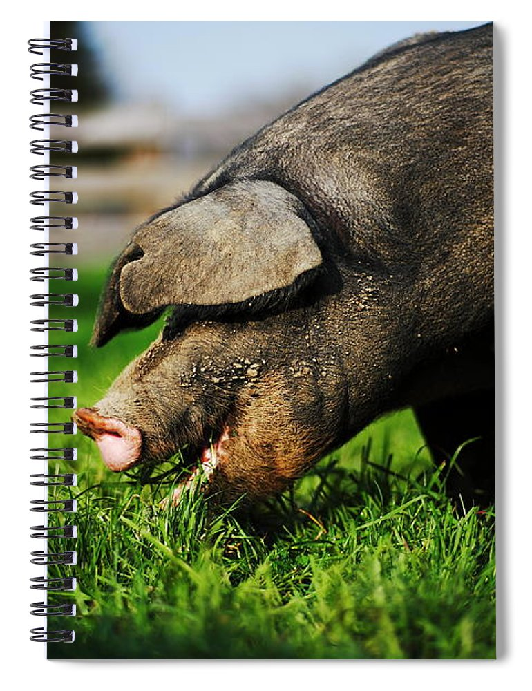 Pig Spiral Notebook featuring the photograph Pig Eating by Jimss