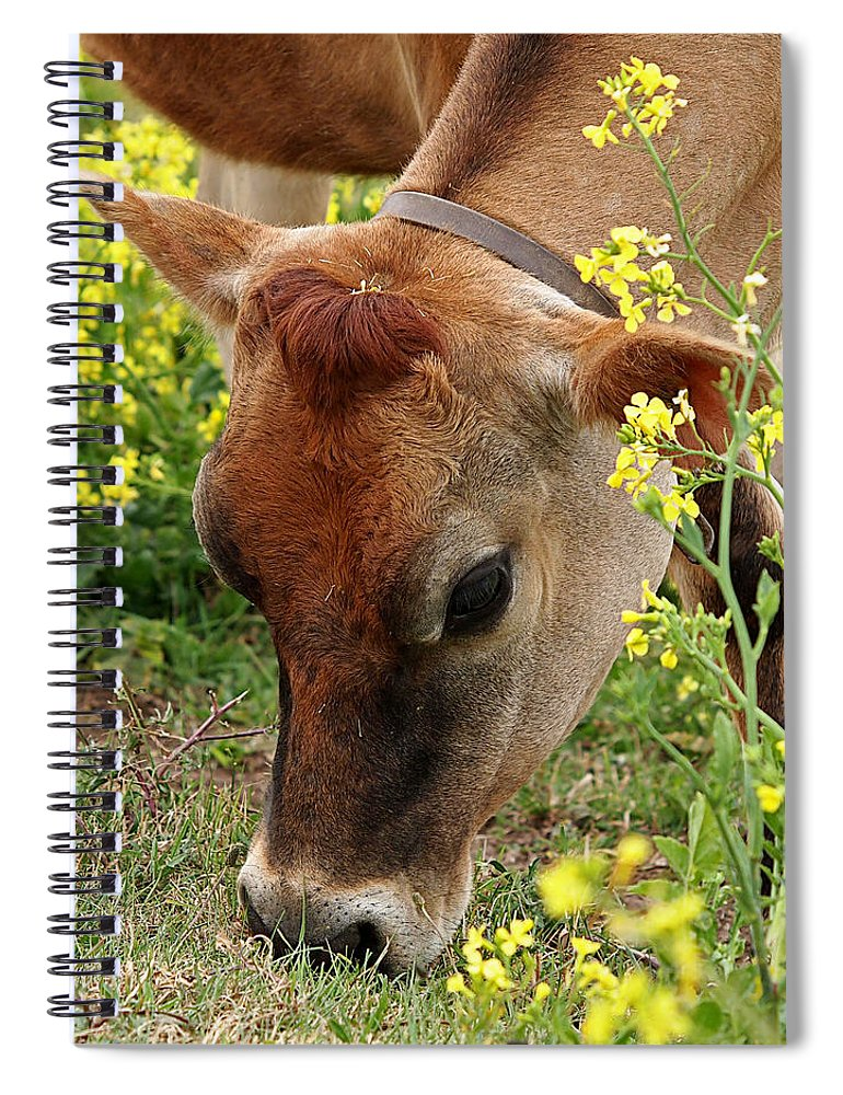 Jersey Cow Spiral Notebook featuring the photograph Pretty Jersey Cow Square by Gill Billington