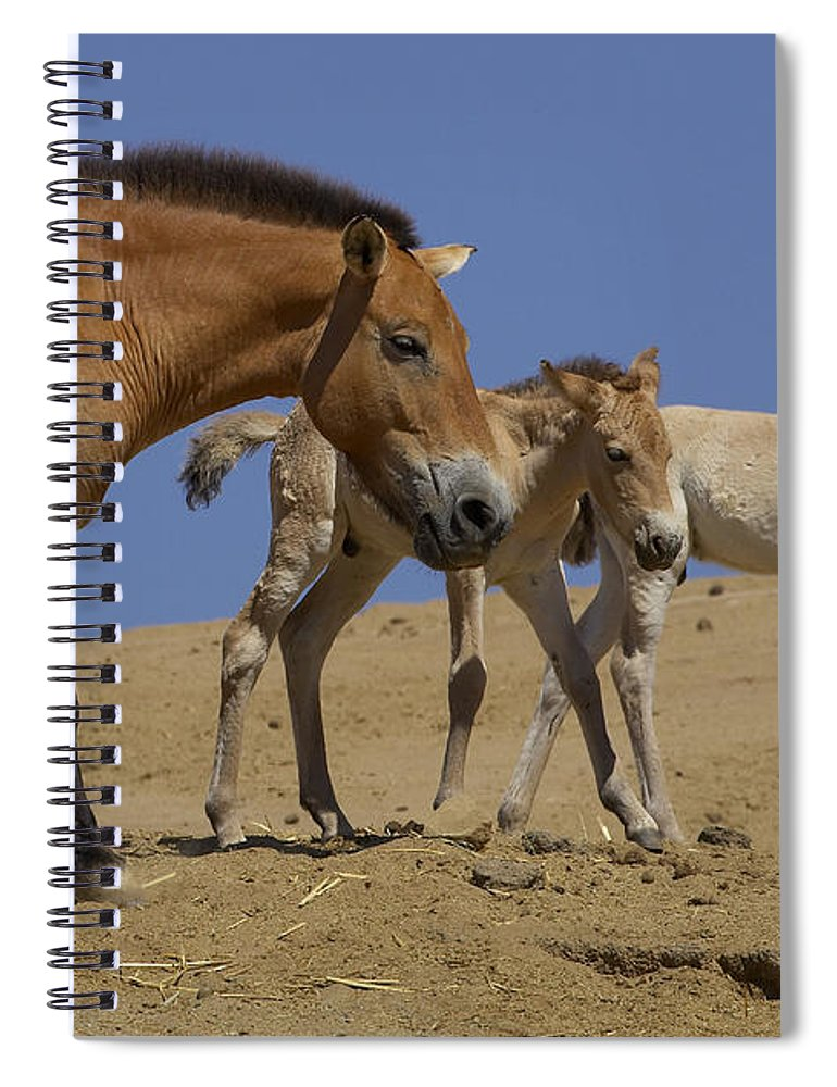 Feb0514 Spiral Notebook featuring the photograph Przewalskis Horse With Two Foals by San Diego Zoo