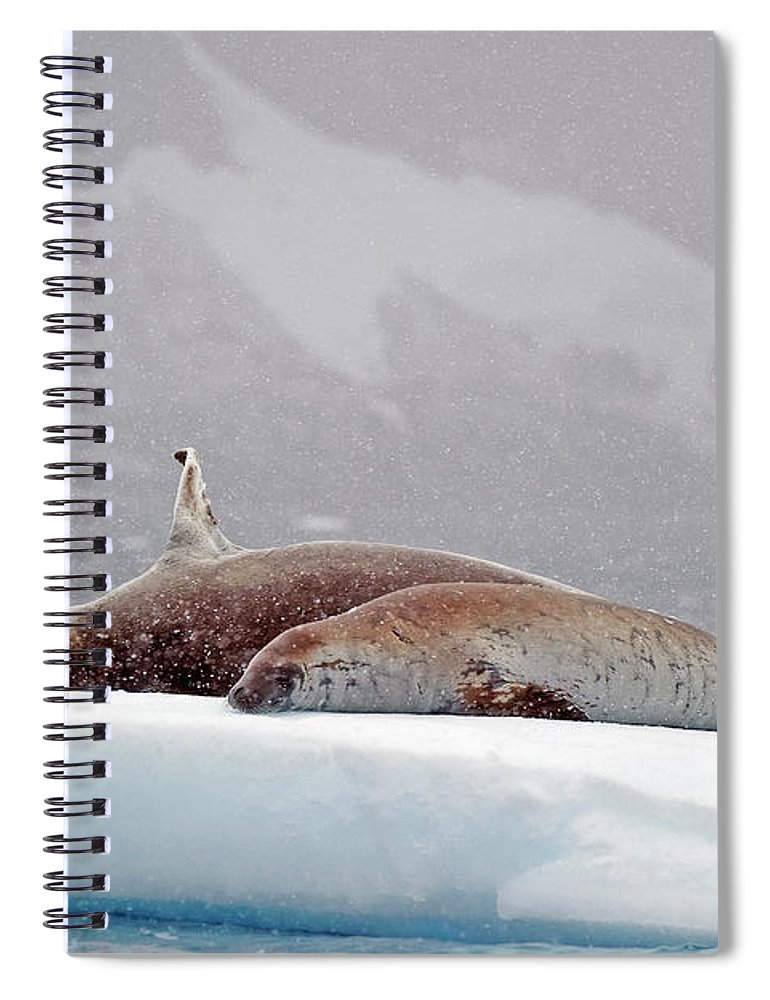 Animals In The Wild Spiral Notebook featuring the photograph Seals Laying On A Piece Of Ice by Jim Julien / Design Pics