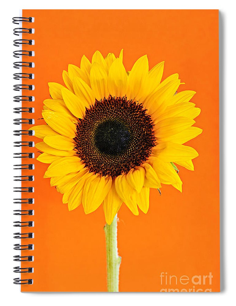 Sunflower Spiral Notebook featuring the photograph Sunflower On Orange by Elena Elisseeva