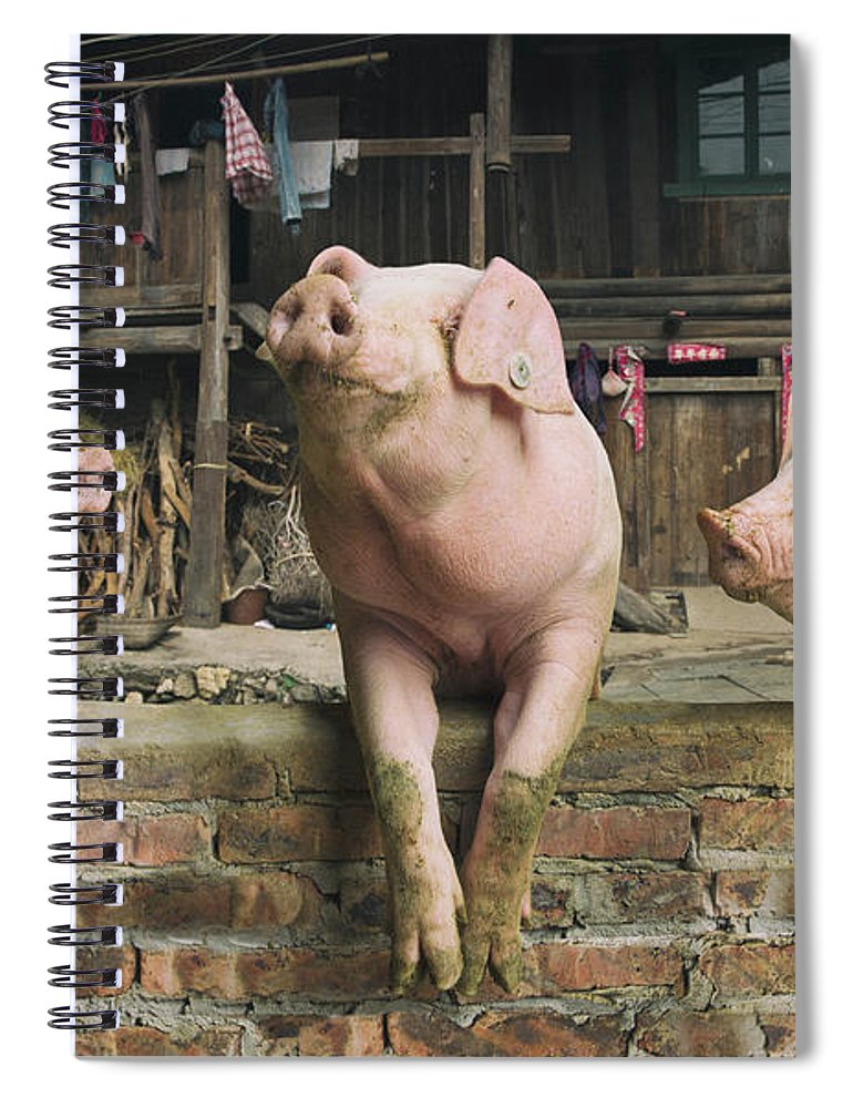Pig Spiral Notebook featuring the photograph Three Pigs Having A Chat In A Remote by Mediaproduction