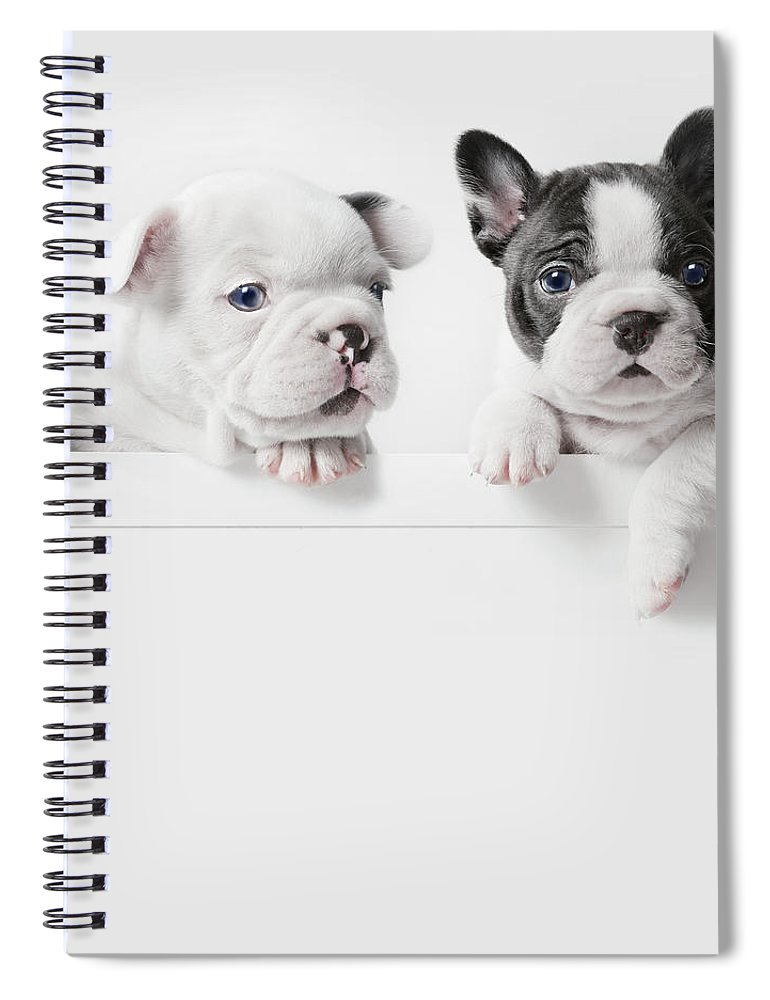Pets Spiral Notebook featuring the photograph Two French Bulldog Puppies Peer Over A by Andrew Bret Wallis