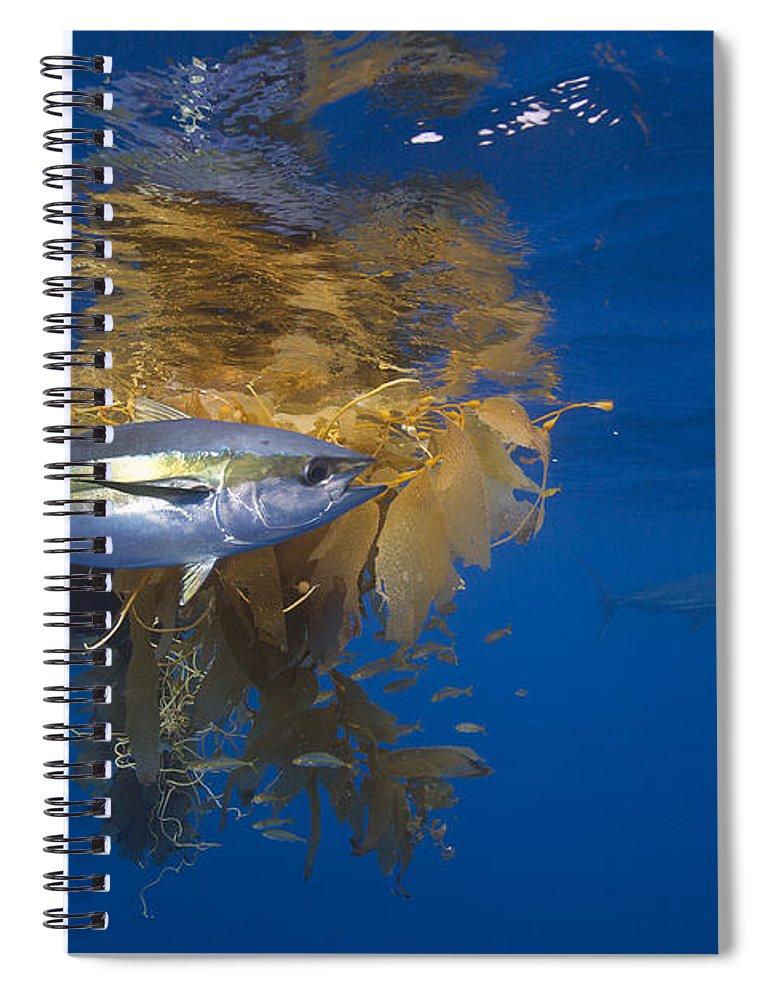 Richard Herrmann Spiral Notebook featuring the photograph Yellowfin Tuna And Kelp Nine-mile Bank by Richard Herrmann