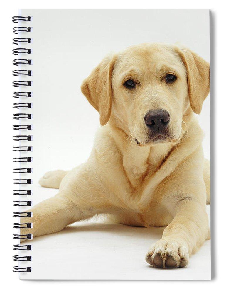 Studio Spiral Notebook featuring the photograph Labrador X Golden Retriever Puppy by Jane Burton