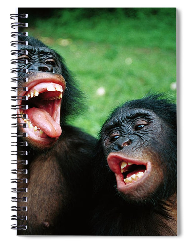Mp Spiral Notebook featuring the photograph Bonobo Pan Paniscus Juvenile Pair by Cyril Ruoso