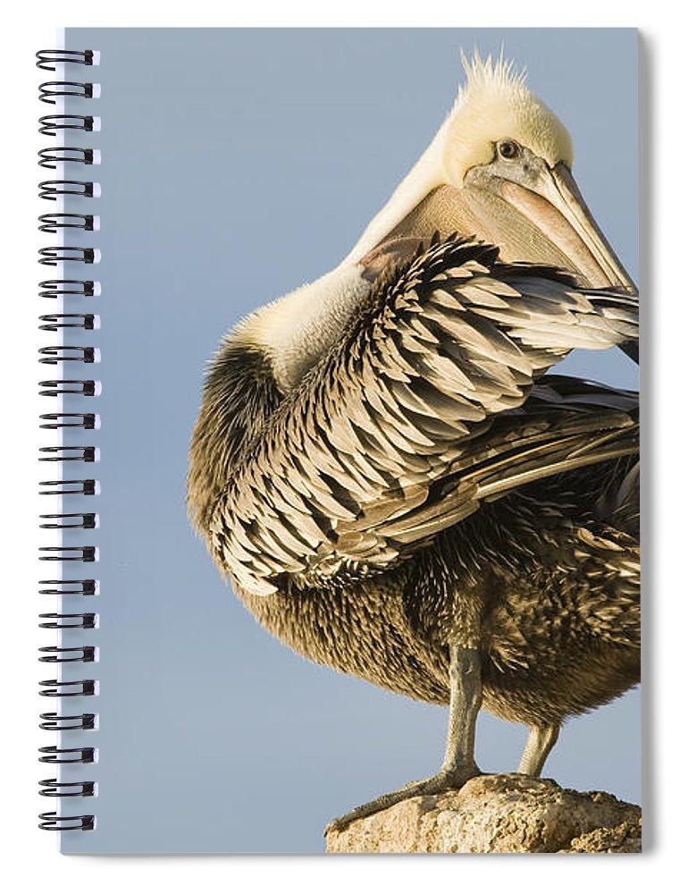 00429648 Spiral Notebook featuring the photograph Brown Pelican Preening Natural Bridges by Sebastian Kennerknecht