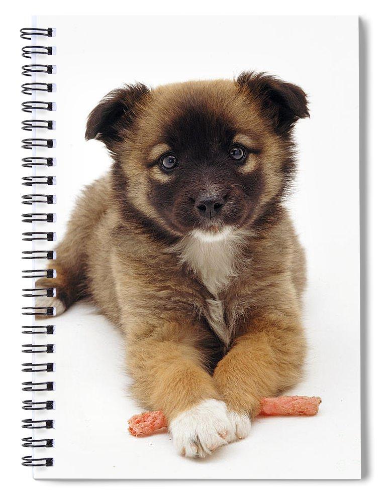 White Background Spiral Notebook featuring the photograph Collie X Shih-tzu Puppy by Jane Burton