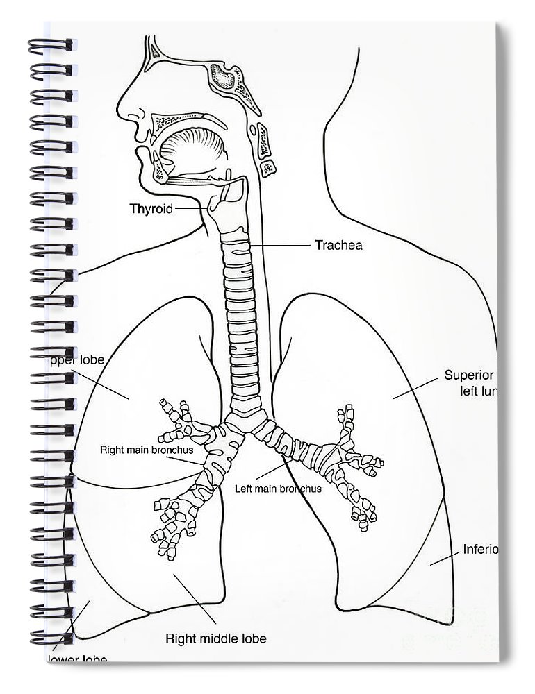 Illustration Of Respiratory System Spiral Notebook For Sale By