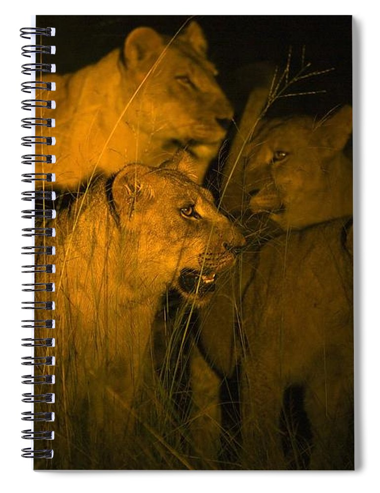 African Spiral Notebook featuring the photograph Lions At Night by Carson Ganci