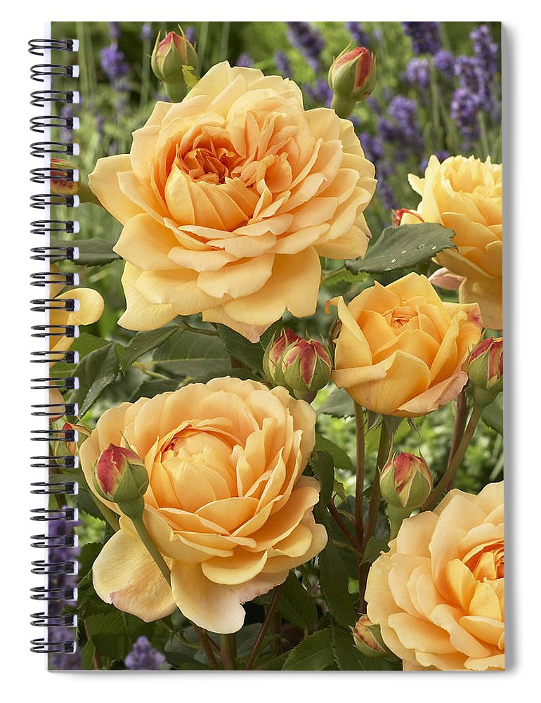 Vp Spiral Notebook featuring the photograph Rose Rosa Sp Golden Celebration Variety by VisionsPictures