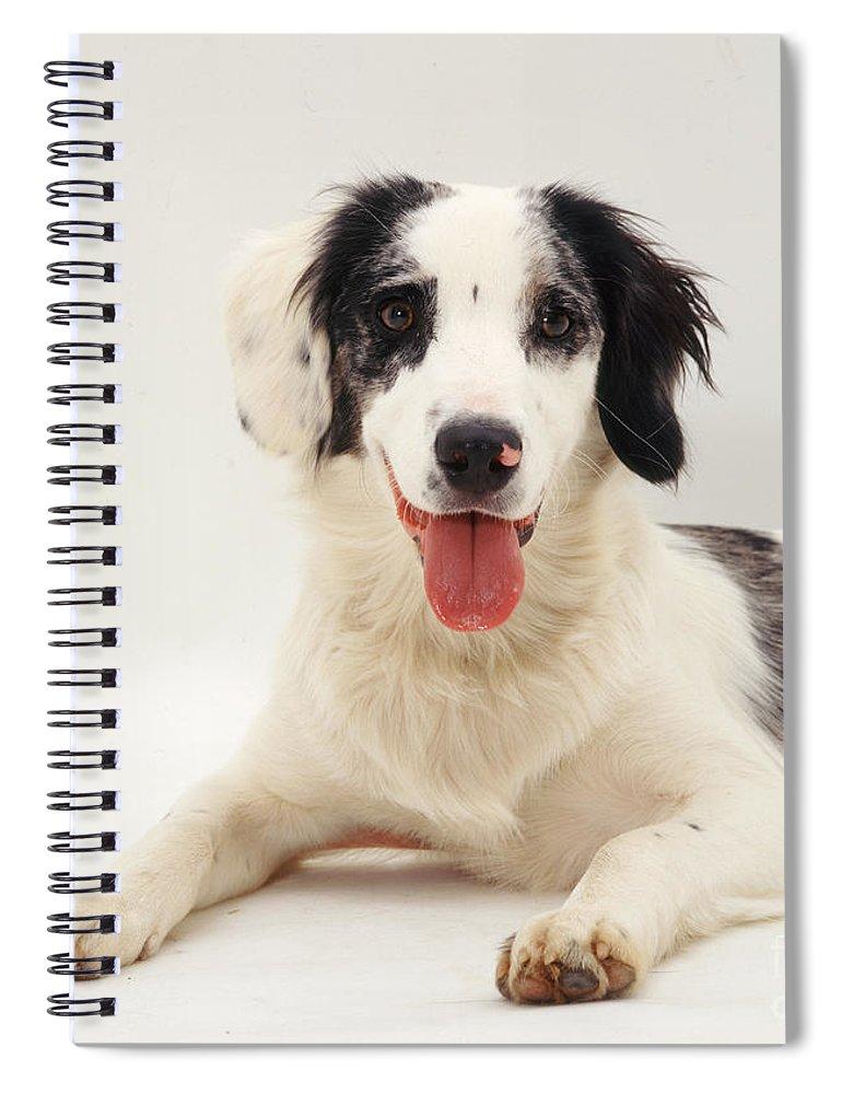 White Background Spiral Notebook featuring the photograph Springer Spaniel X Border Collie by Jane Burton