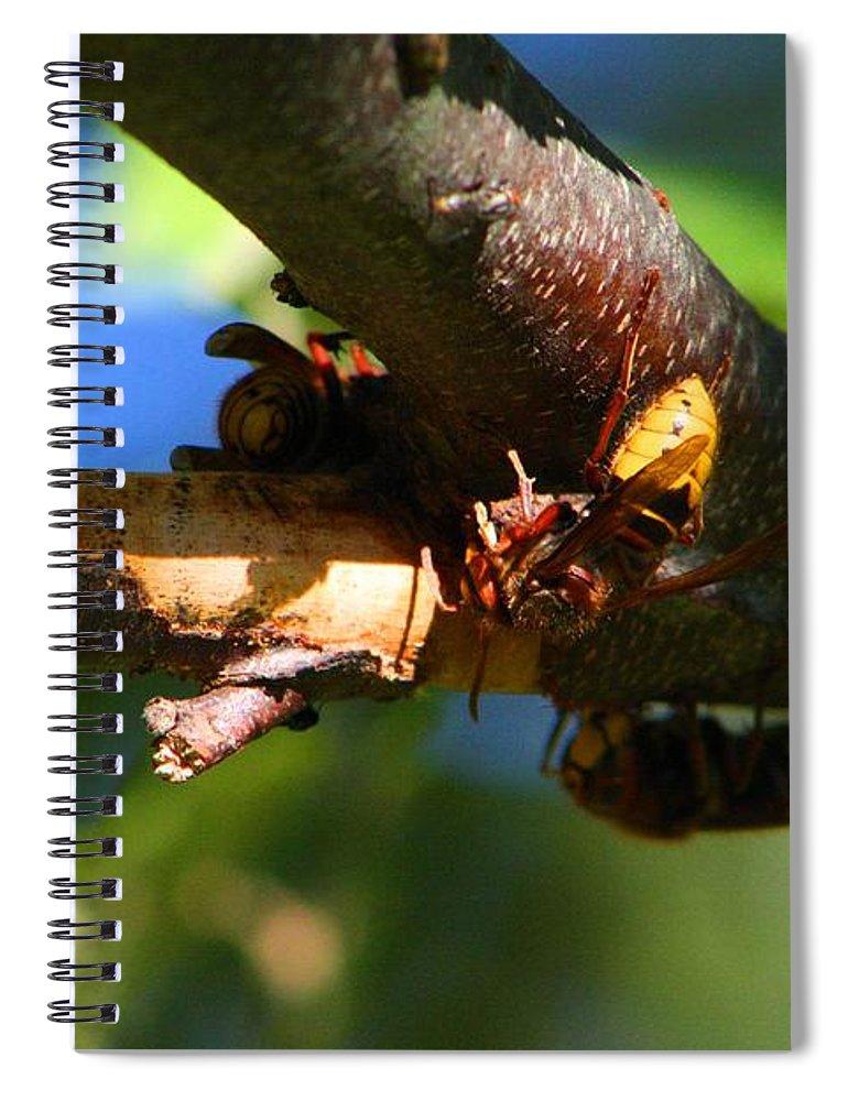 Hornet Spiral Notebook featuring the photograph European Hornets by Kathryn Meyer