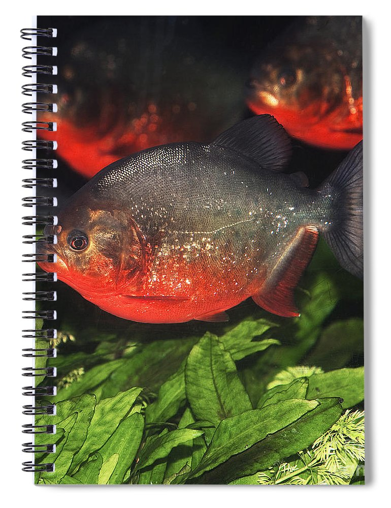 Red Bellied Piranha Spiral Notebook